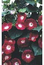 Crimson Rambler Morning Glory Seeds 5730
