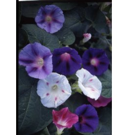 Mixed Colours Morning Glory Seeds 5770