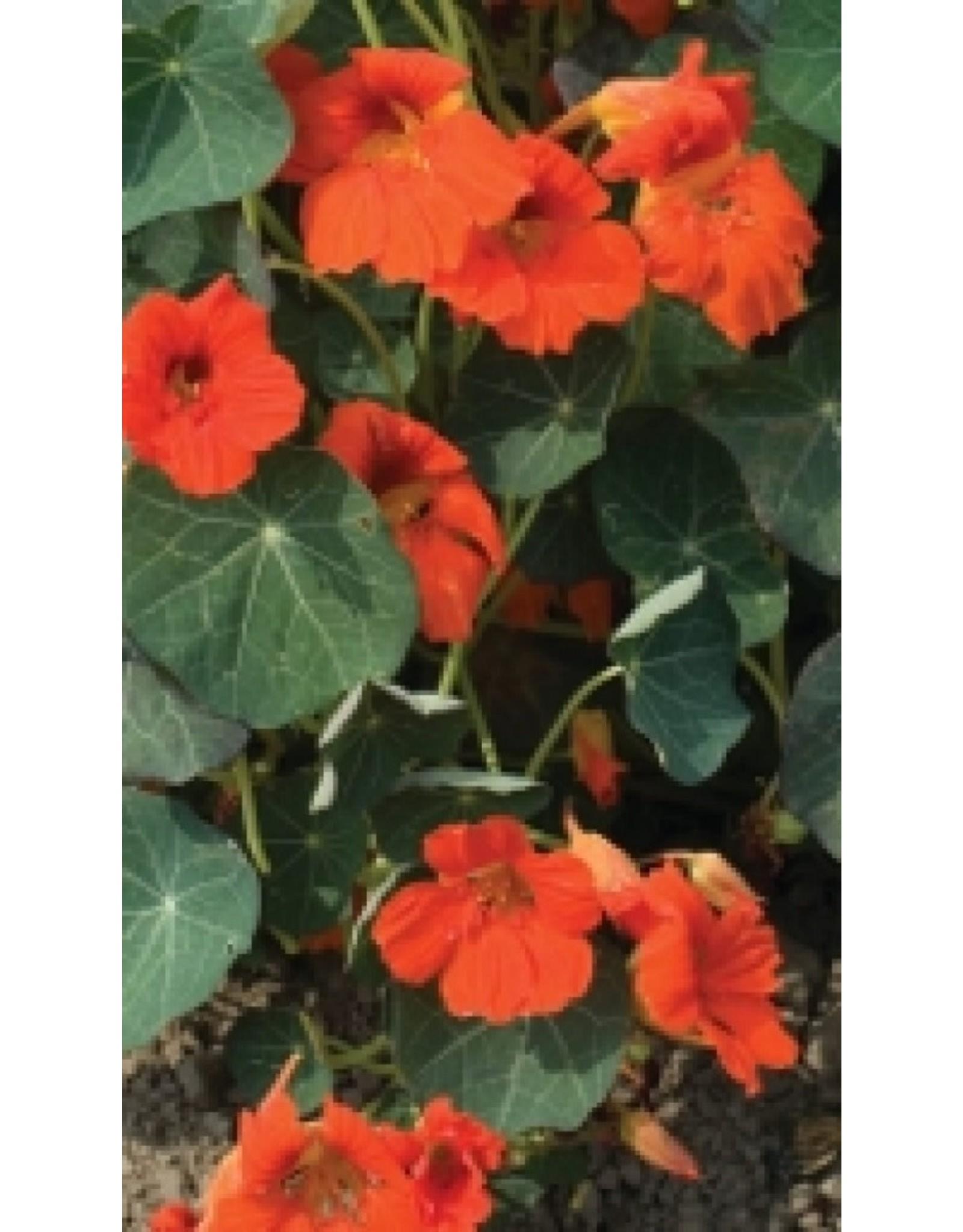 Empress of India Nasturtium Seeds 5785