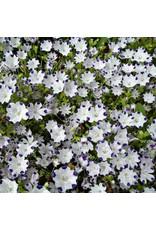 Five Spot Nemophila Seeds 6920