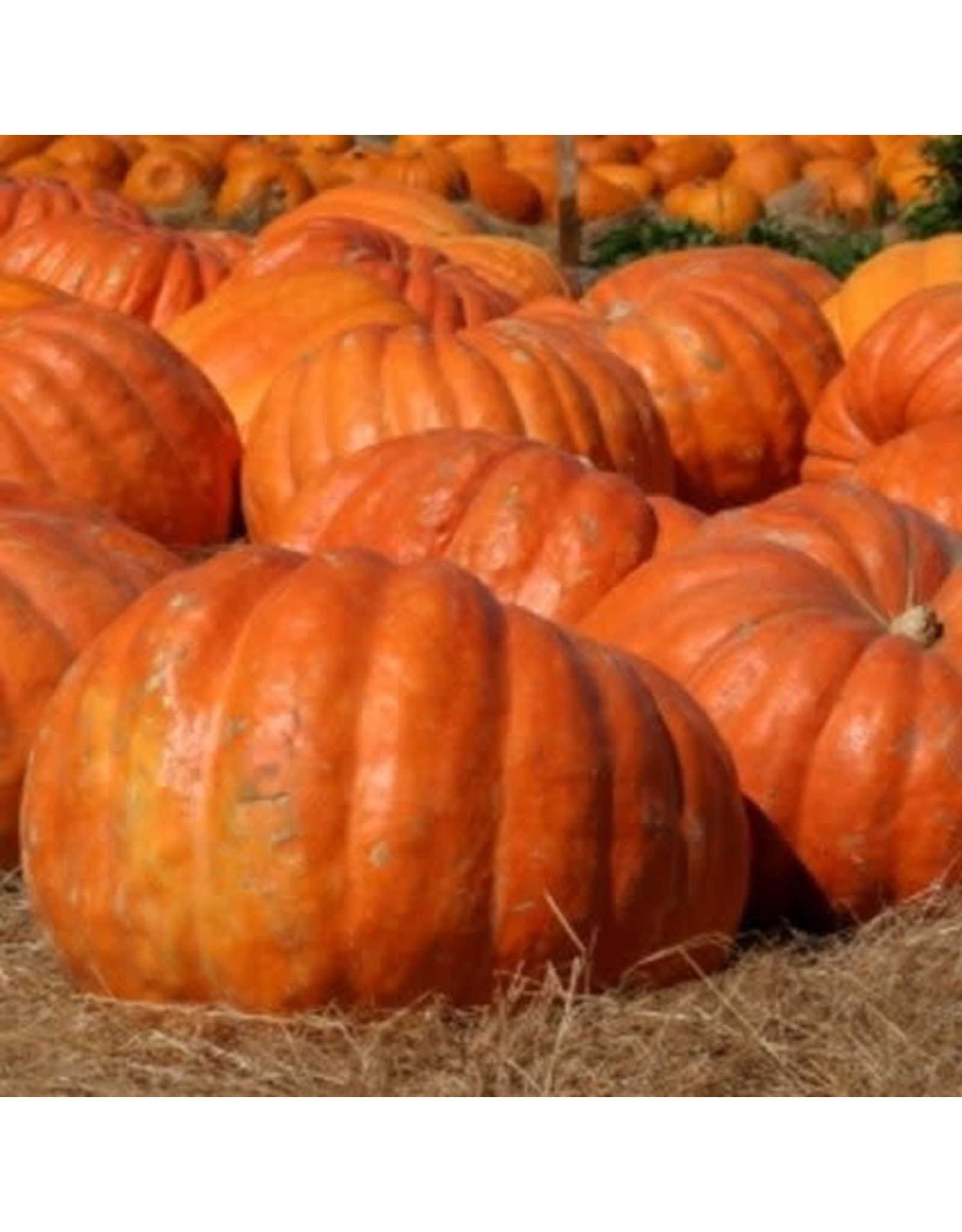 Dill's Atlantic Giant Pumpkin Seeds 2015