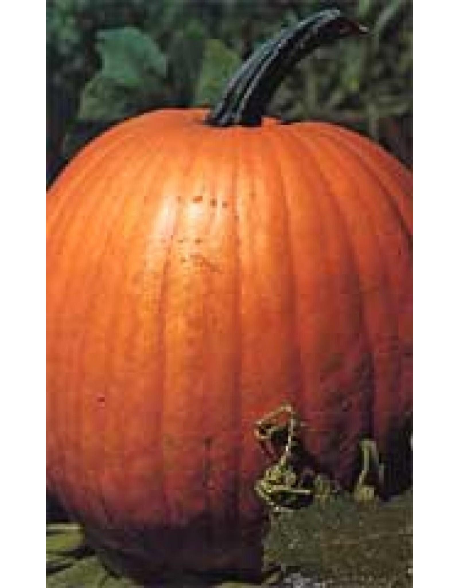 Connecticut Field Pumpkin Seeds (Processing Type) 2050