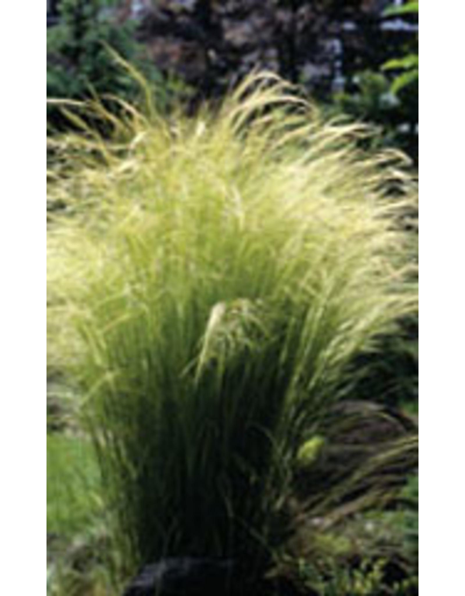 Angel Hair Ornamental Grass Seeds 7010