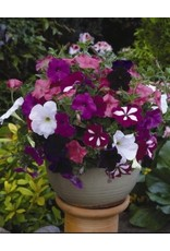 Gradiflora Dwarf Bedding Petunia Seeds (Mixed Colours) 6000