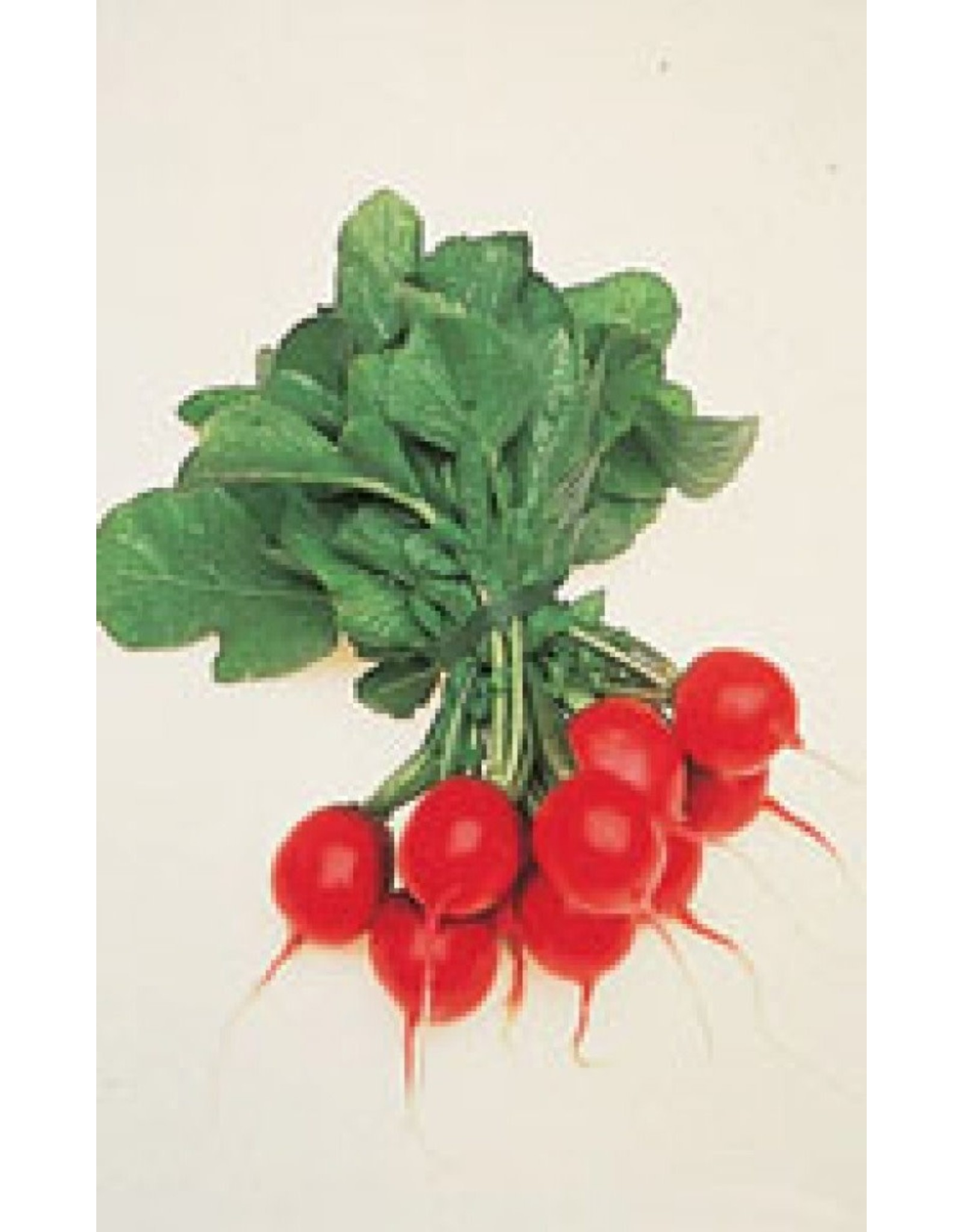 Cherry Belle Radish Seeds (Summer Type) 2085