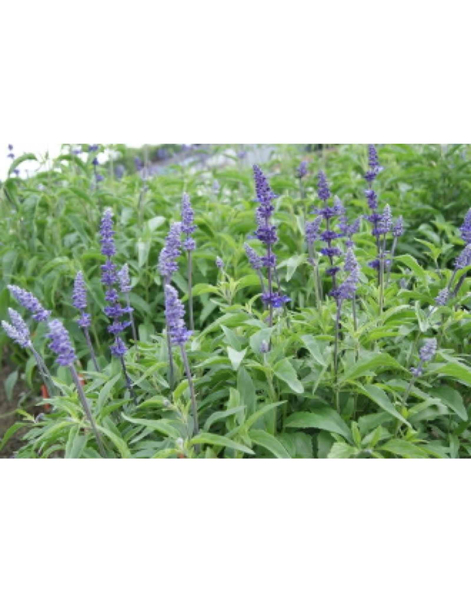 Blue Bedder Salvia Seeds 6035
