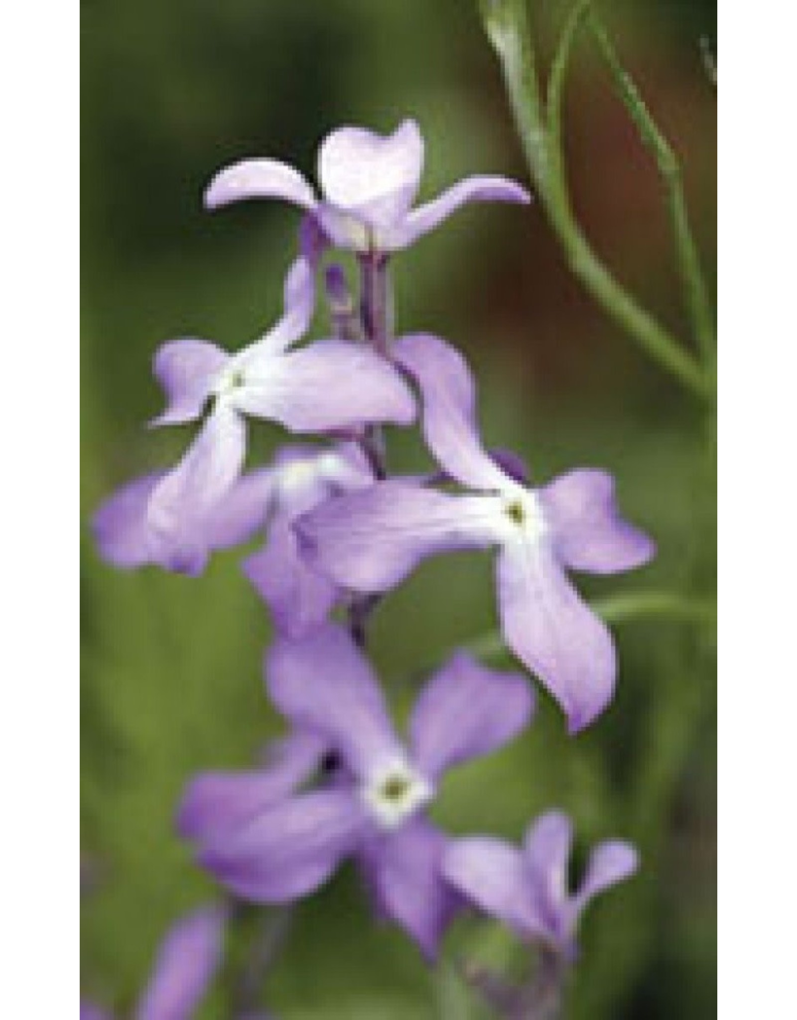 Evening Scented Stocks Seeds 6120