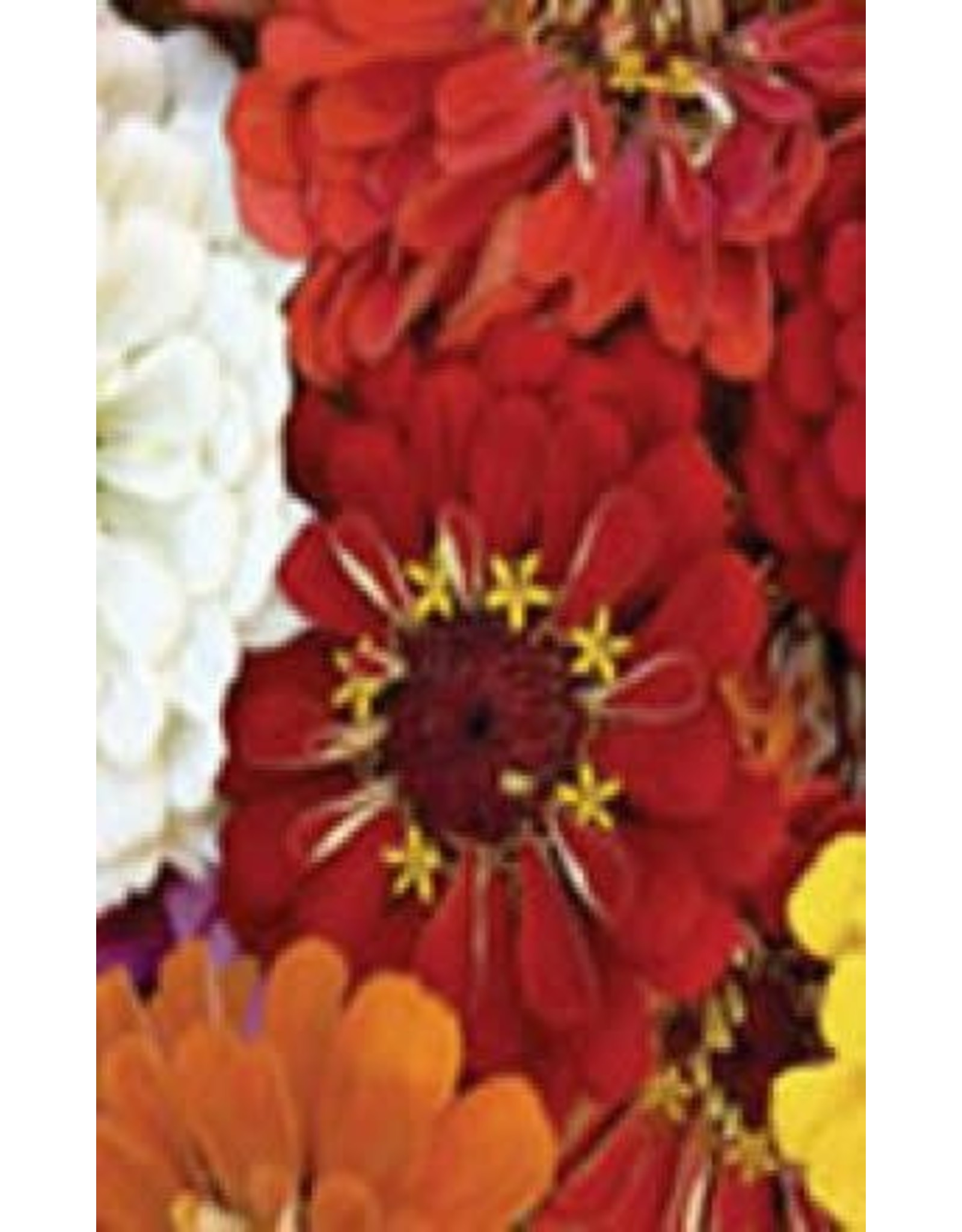 Cactus Flowered Hybrid Mixture Zinnia Seeds 6280