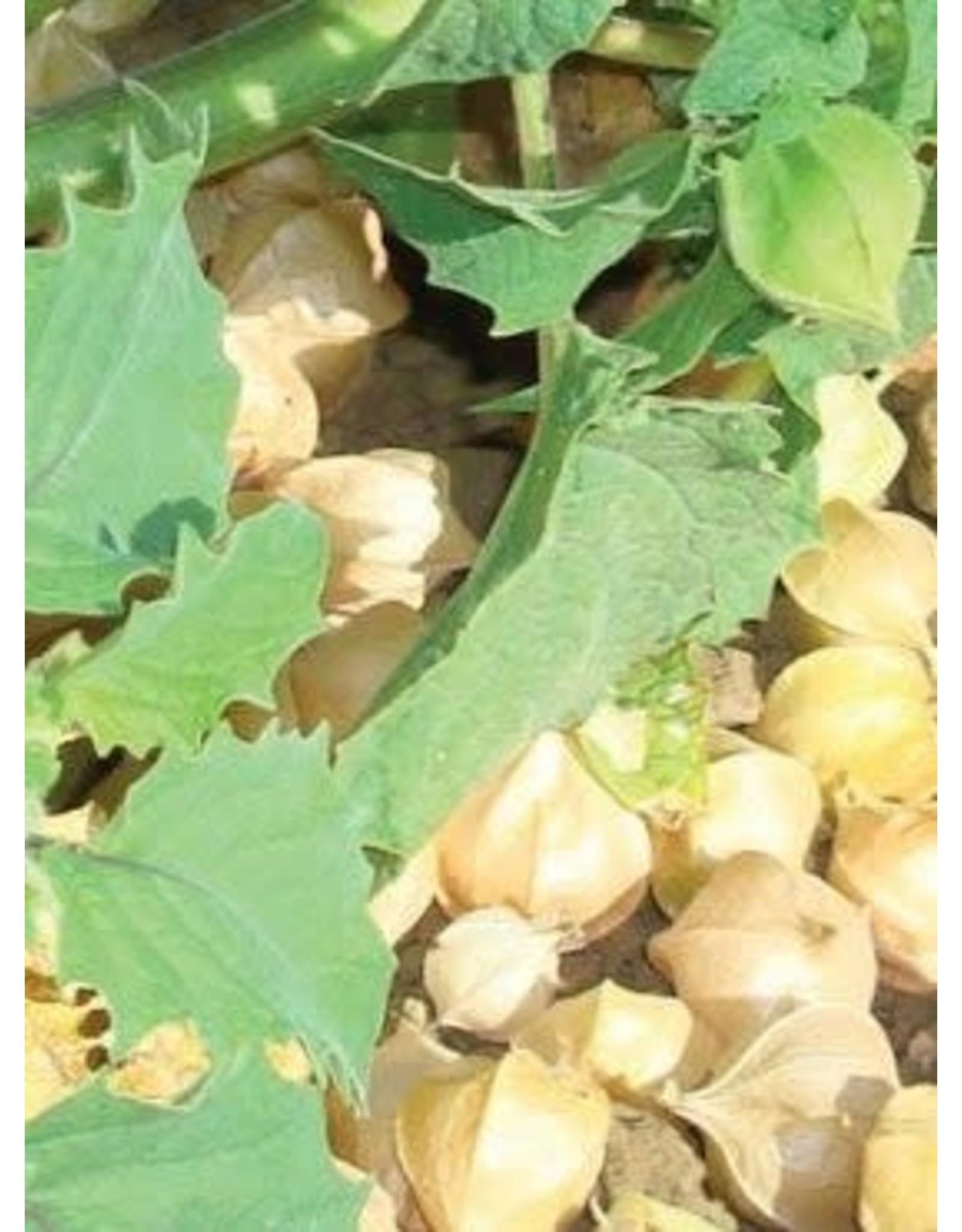 Ground Cherry Tomato Seeds (Husk Type) 2395