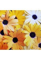Aurantica Hybrids African Daisy Seeds 5200