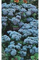 Blue Mink Ageratum Seeds (Blue Flossflower) 5000