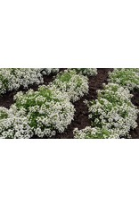 Carpet of Snow Alyssum Seeds 5005
