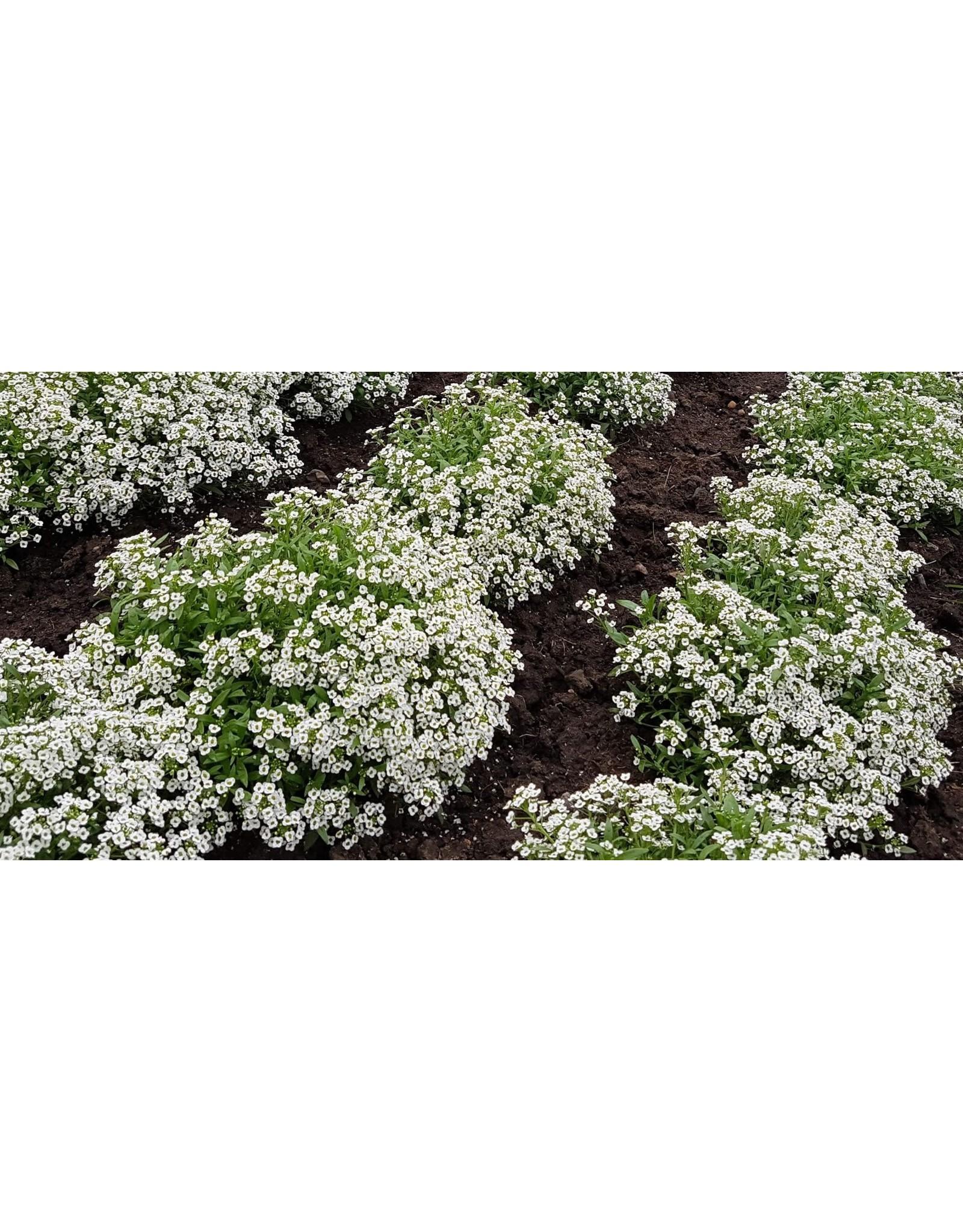 Carpet of Snow Alyssum Seeds 5005