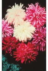 Giant Crego Mixed Aster Seeds 5030