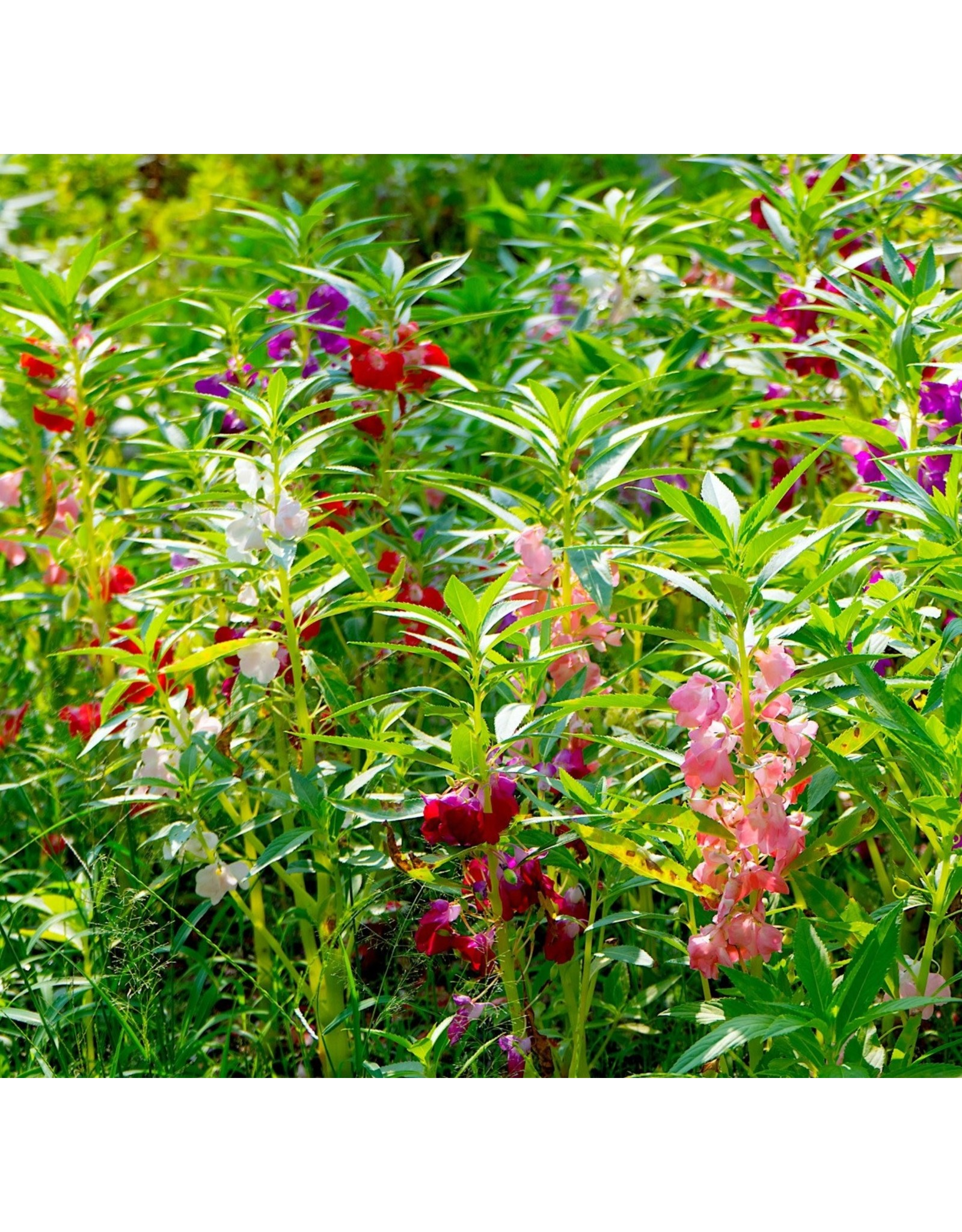 Brilliant Mixture Balsam Seeds (Touch-Me-Not) 5050