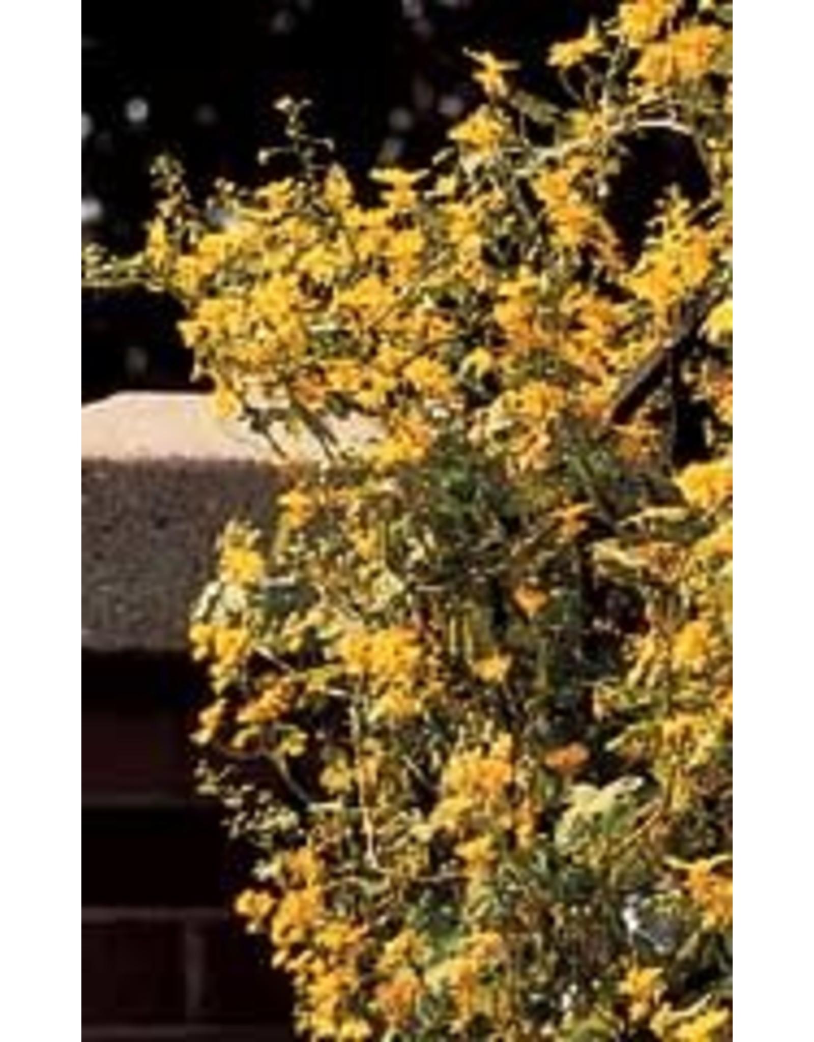 Canary Creeper Nasturtium Seeds 5100