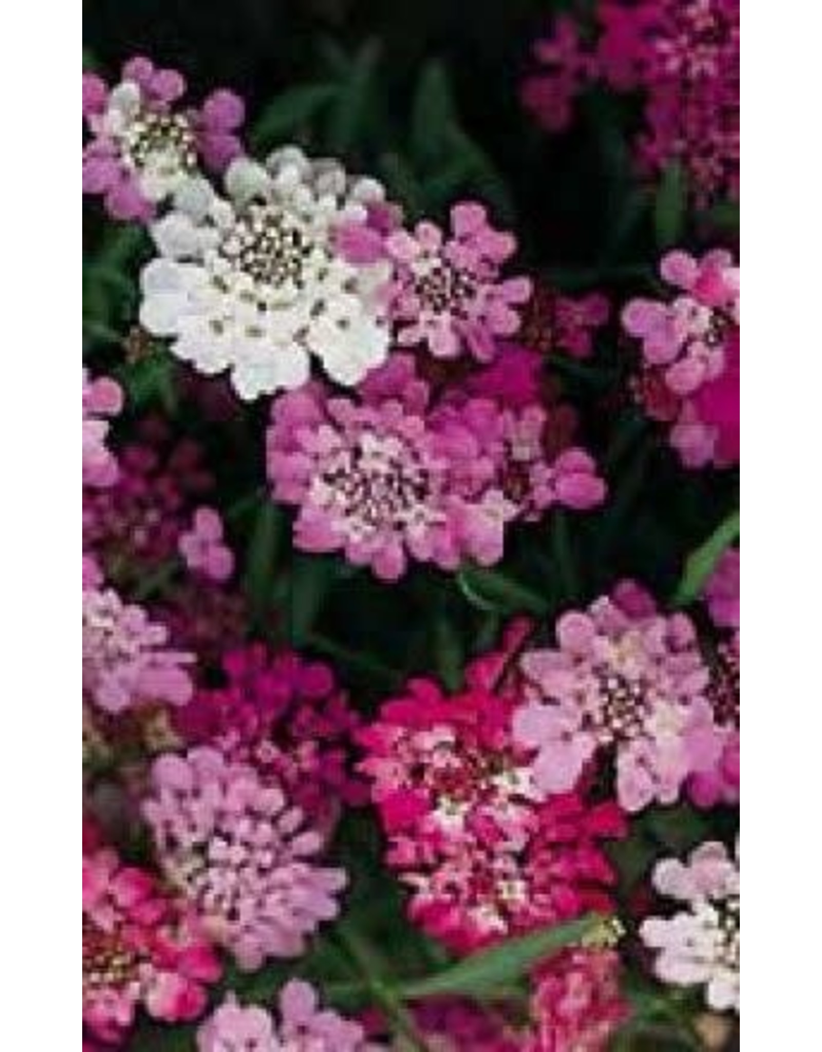 Fairy Mixed Candytuft Seeds 5105
