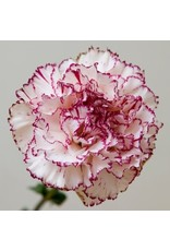Chabauds Giant Carnation Seeds (Mixed Colours) 6395