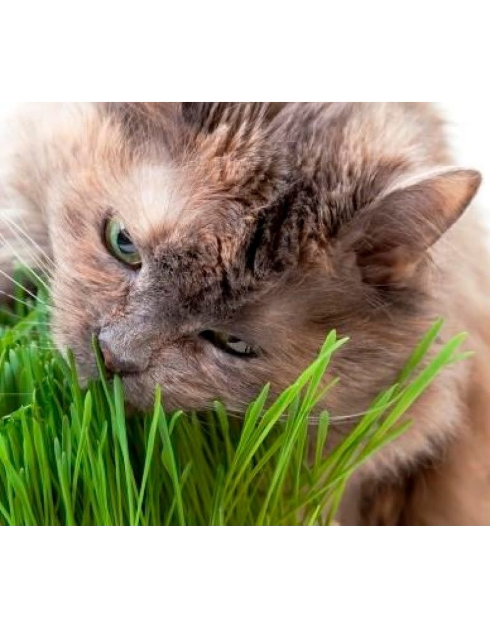 Catgrass Seeds (Digestive Aid for Cats) 6700