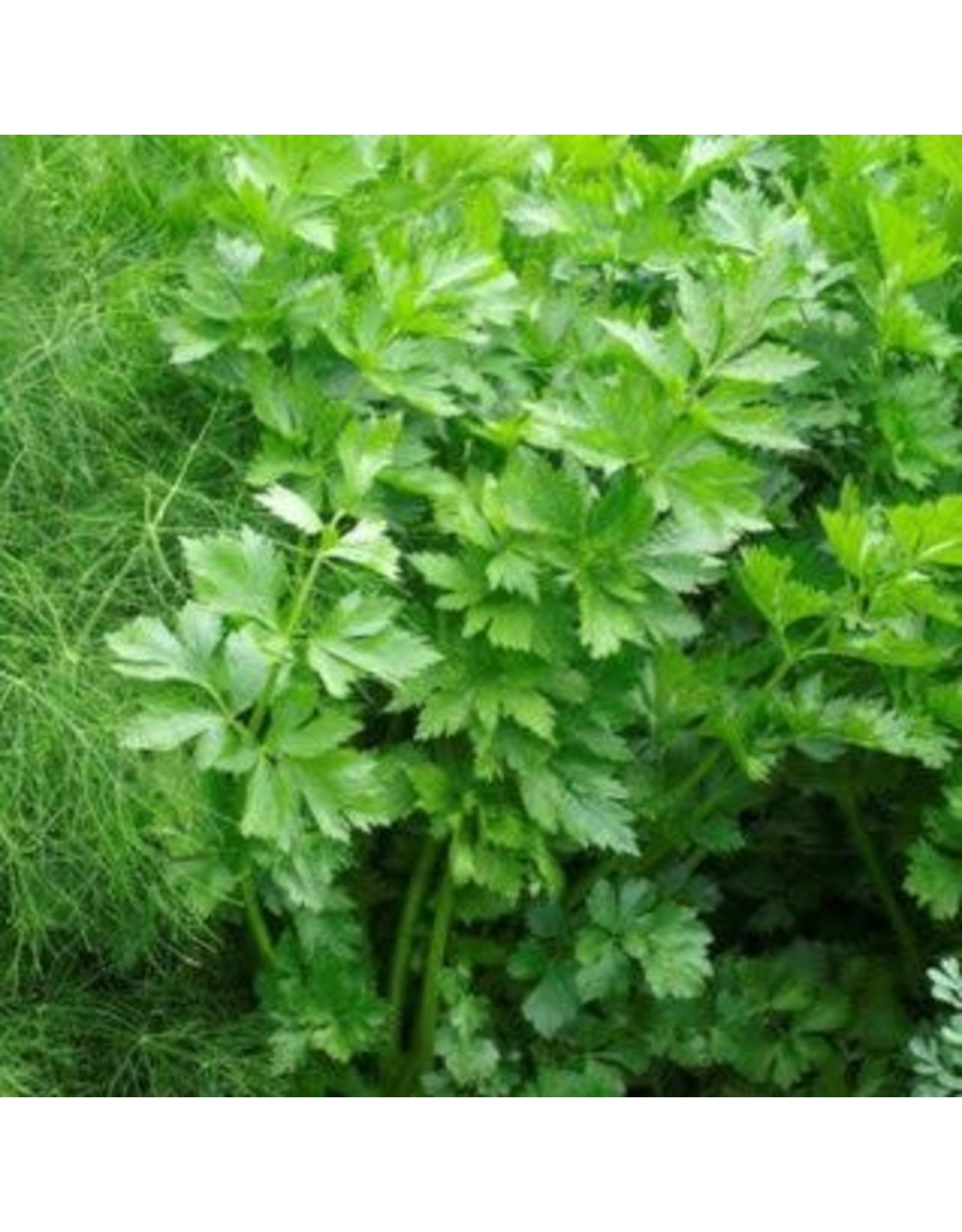 Amsterdam Leaf Celery Seeds (Aimers International) 2785