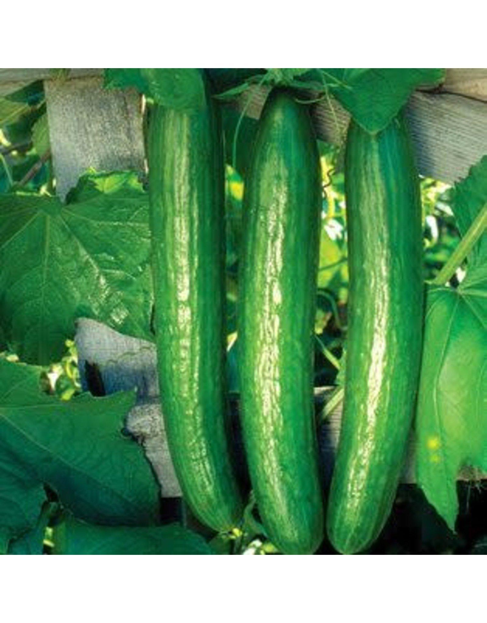 Early Spring Burpless Hybrid Cucumber Seeds (Aimers International) 2810