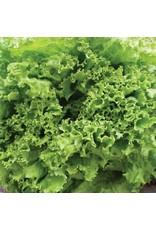 Green Ice Lettuce Seeds (Aimers International) 2830