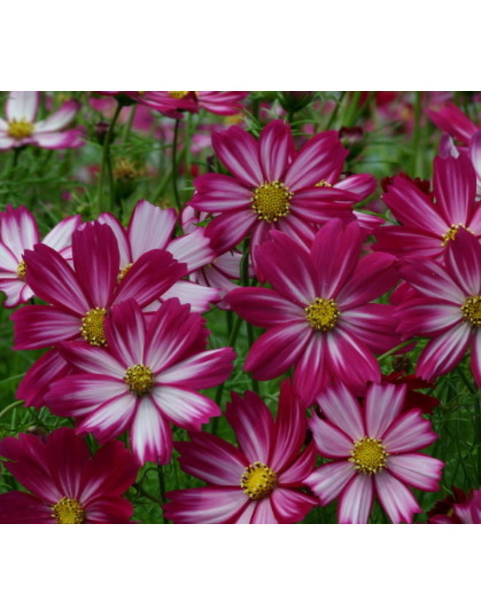 Cosimo Purple-Red-White Cosmos Seeds 5152