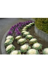 Fall Colour Flowering Cabbage Seeds 5220