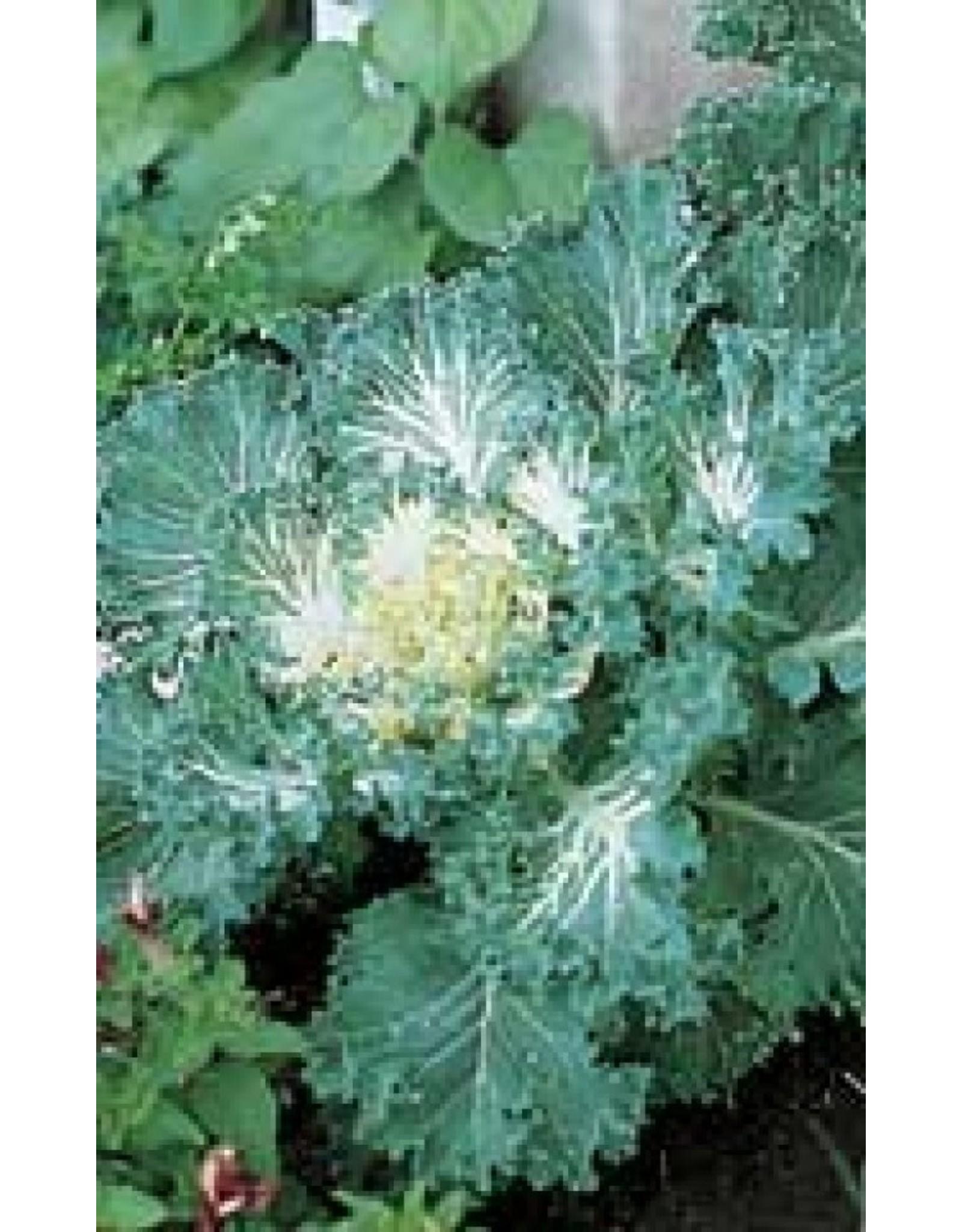 Bold Flowering Kale Seeds 5225