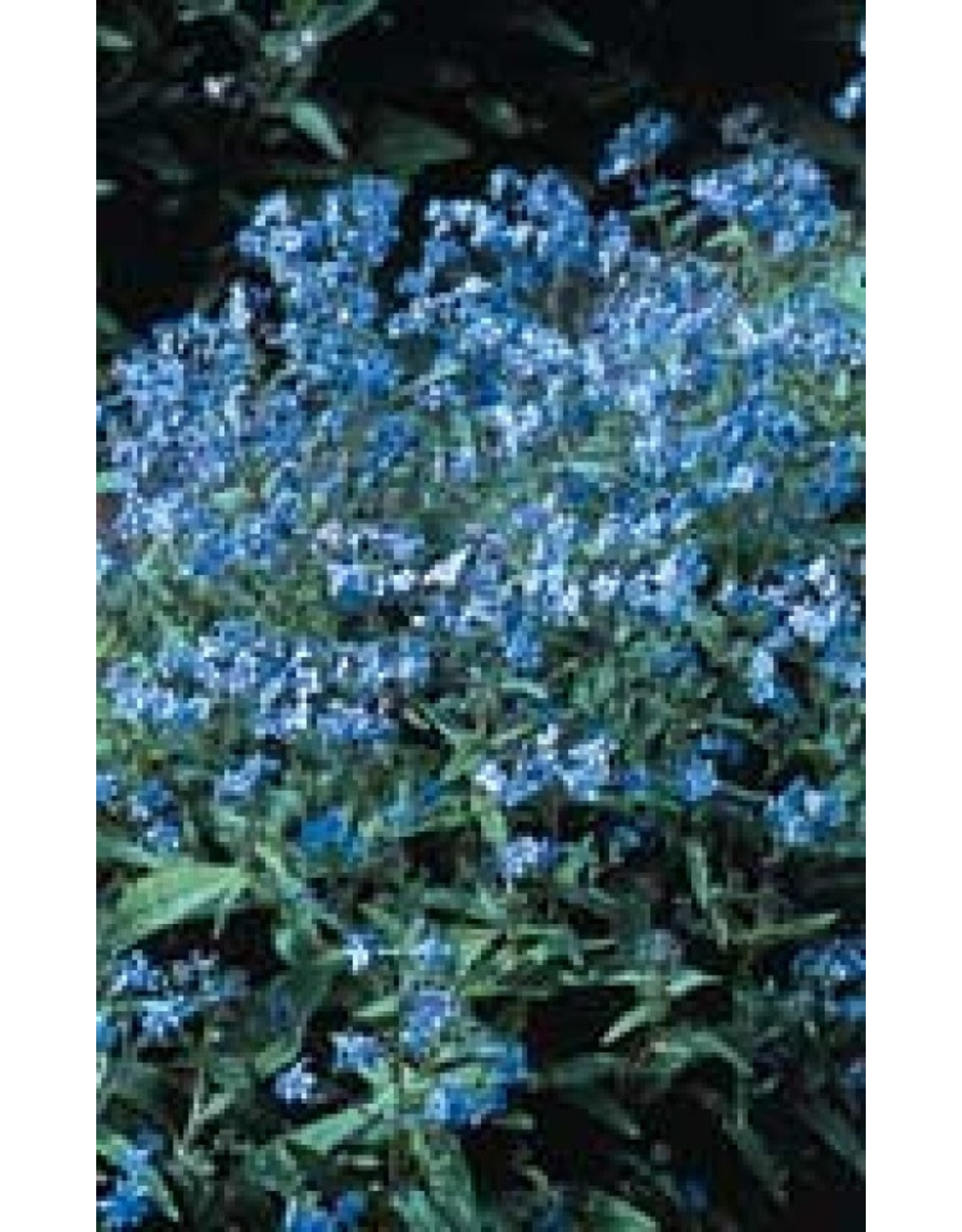 Forget-Me-Not Seeds (Chinese Type) 5190