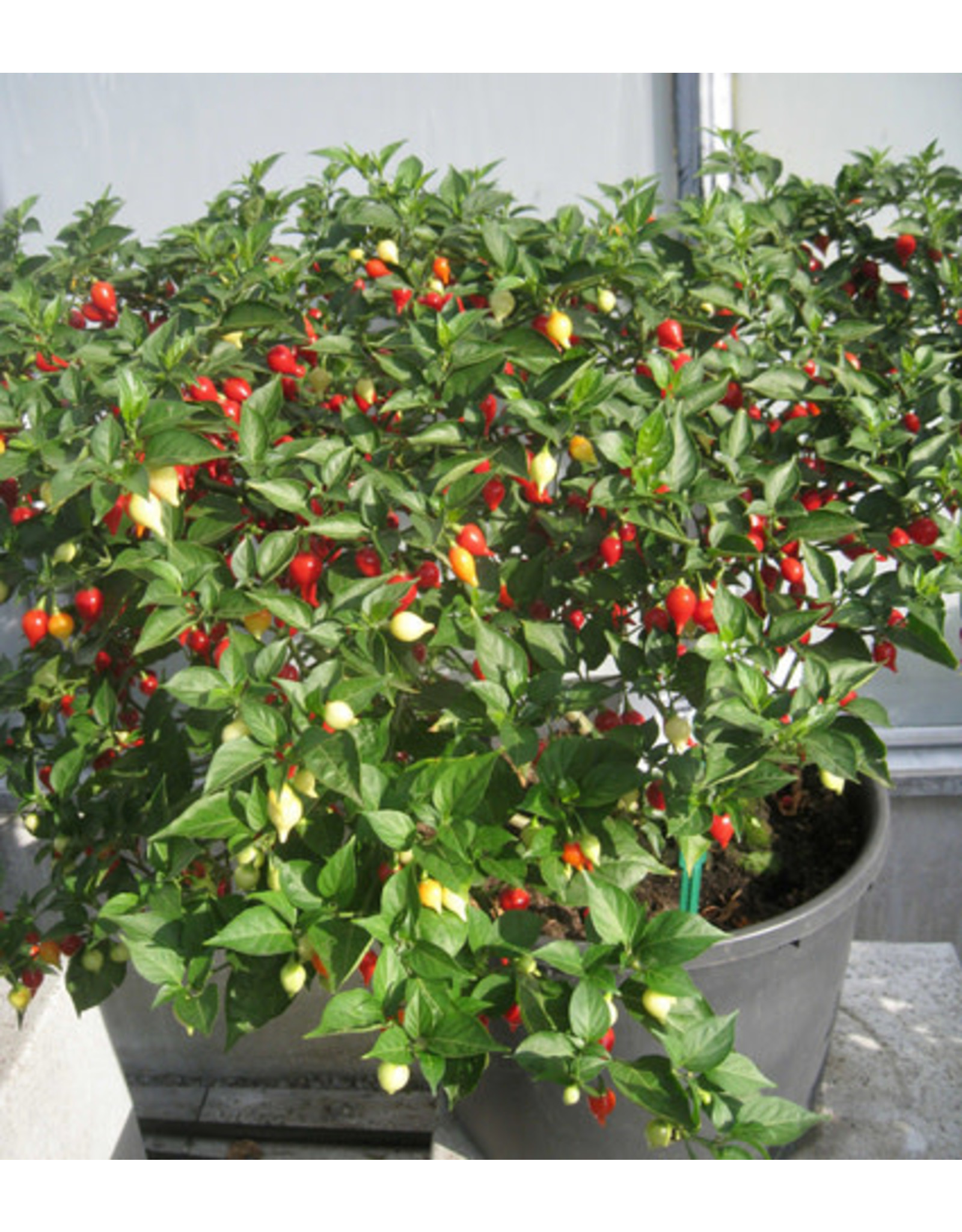 Button Mix Chili Pepper Seeds (Aimers International) 2910