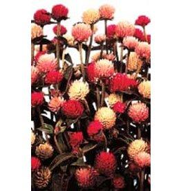 All Colour Blend Gomphrena Seeds (Globe Amaranth) 5330