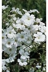 Covent Garden Gypsophila Seeds (Baby's Breath) 5360