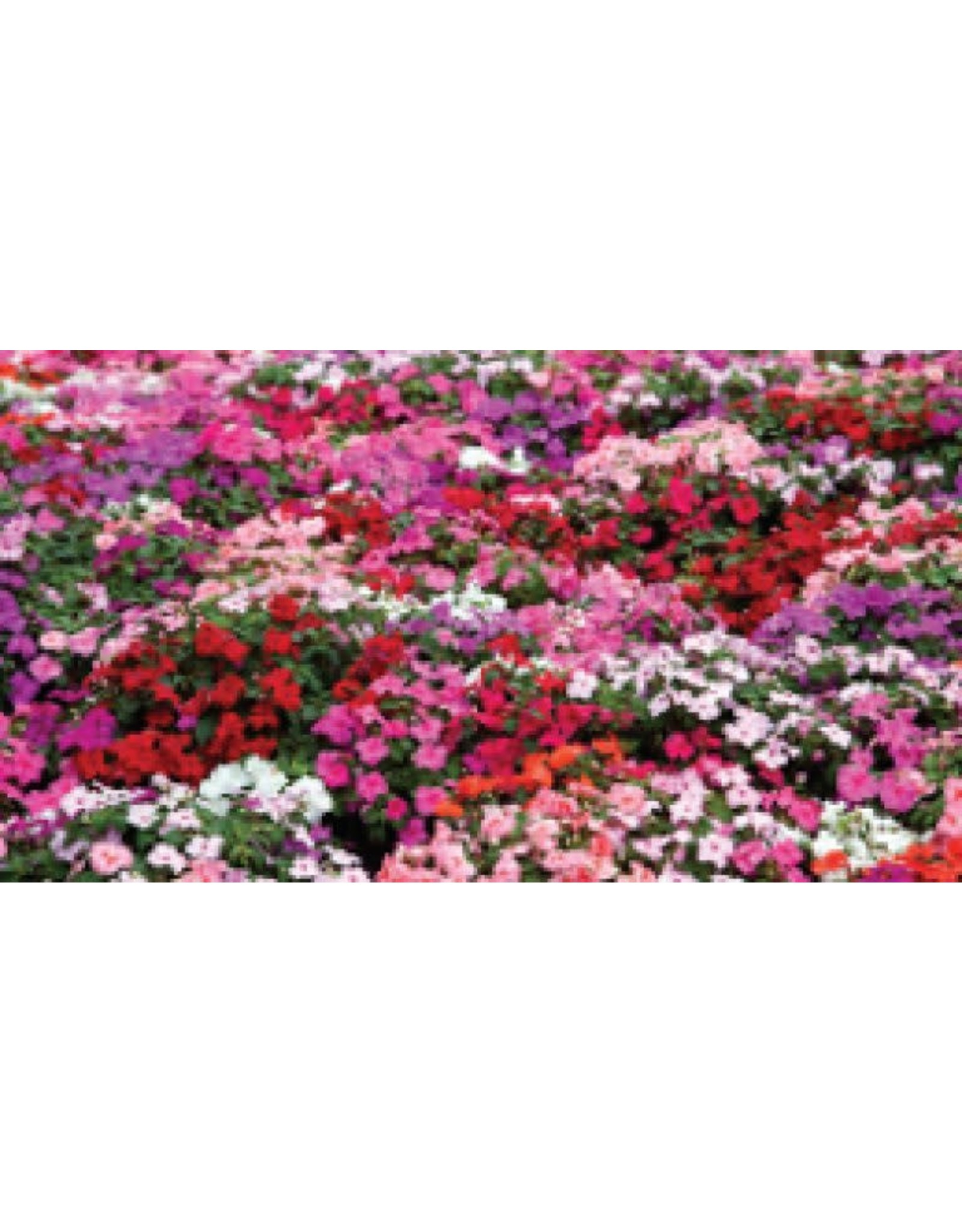 Choice Mixed Impatiens Seeds (Dwarf Bedding Type) 5550