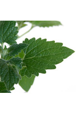 Catnip Seeds 3020