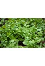 Cilantro Coriander Seeds 3045