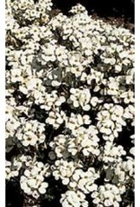 Arabis Snow Cap Seeds (Rock Cress) 6320