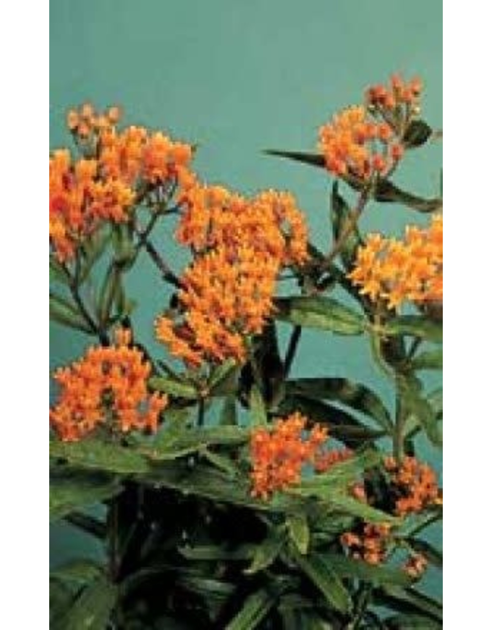 Butterfly Weed Seeds 6375