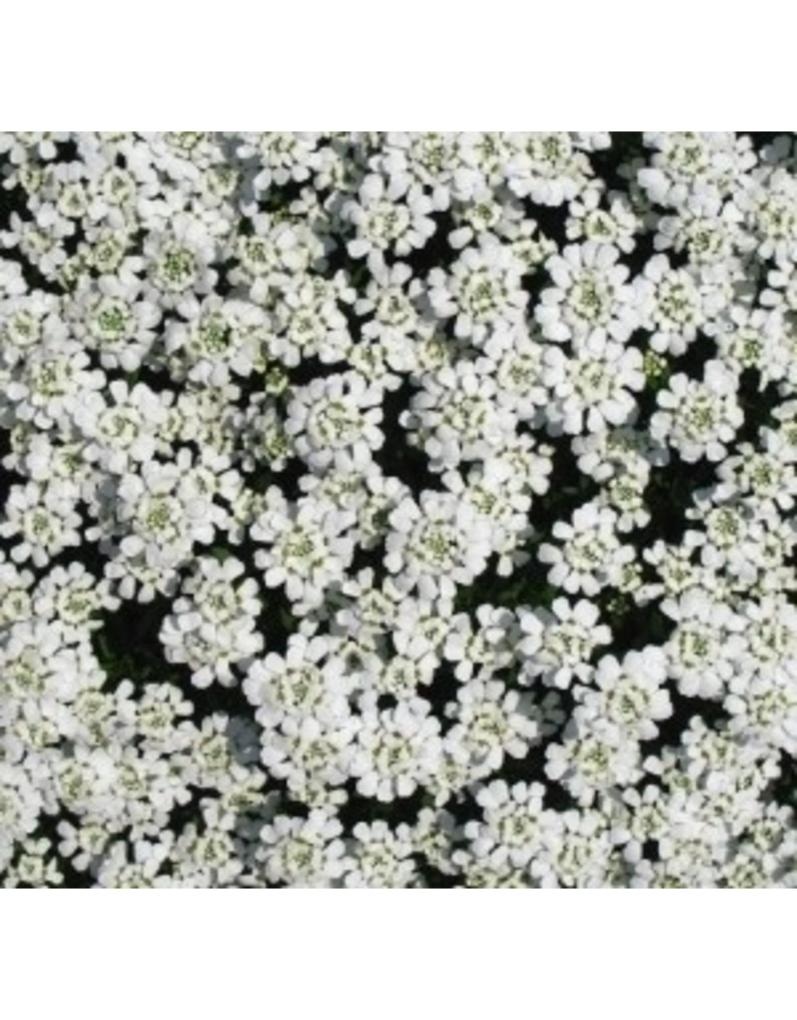 Candytuft Seeds 6390