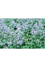 Catmint Seeds (Nepata mussinii) 6400