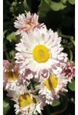 Giant Double Mixed English Daisy Bell Seeds 6450