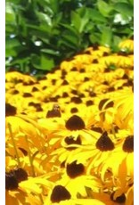 Gloriosa Daisy Seeds 6490