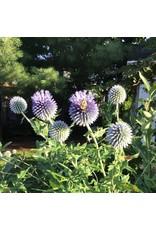 Globe Thistle Seeds 6445
