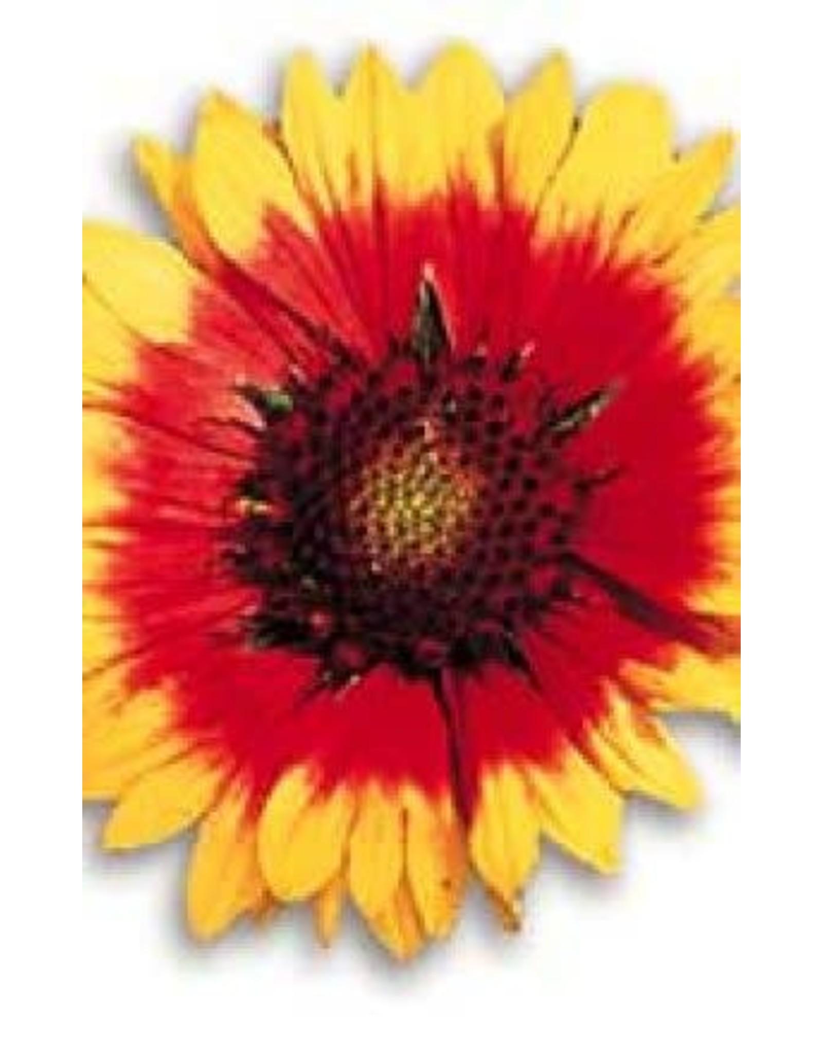 Grandiflora Seeds (Blanket Flower) 6470