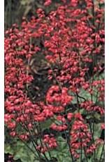 Bressingham Hybrids Coral Seeds 6510