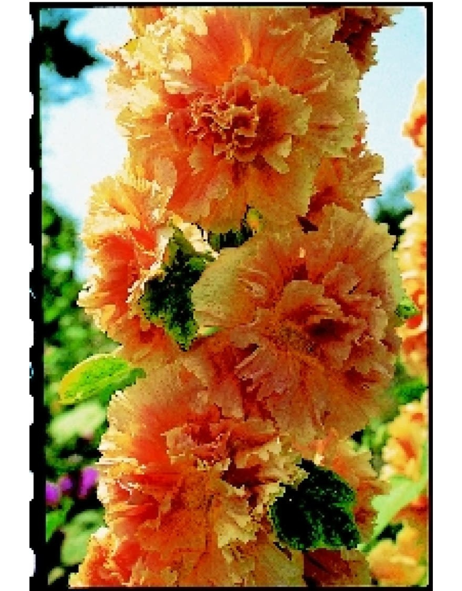 Double Apricot Hollyhock Seeds 6517