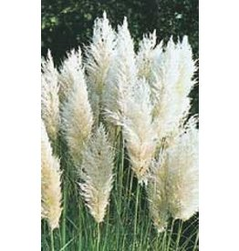 Pampus Plume White Feather Ornamental Grass Seeds 7040