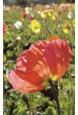 Giant Mixed Poppy Seeds (Iceland Type) 6580