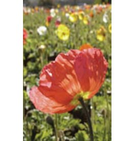 Giant Mixed Poppy Seeds (Iceland Type) 6580
