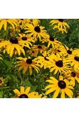 Black Eyed Susan Seeds (Rudbeckia hirta) 6865